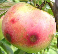 Bitter rotten fruit