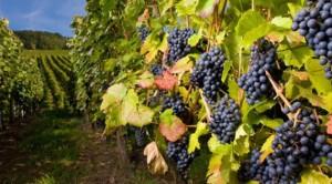 Mark 4-20 grapevine